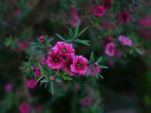 Why the Manuka Flower? Kinetik